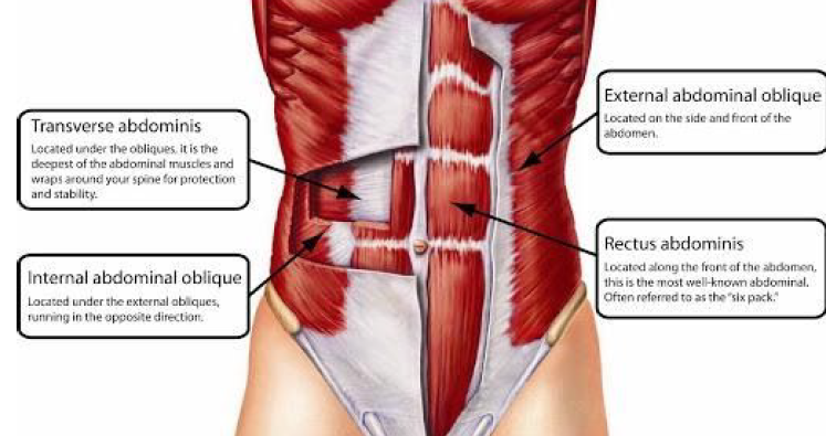 anatomy of abdominal muscles