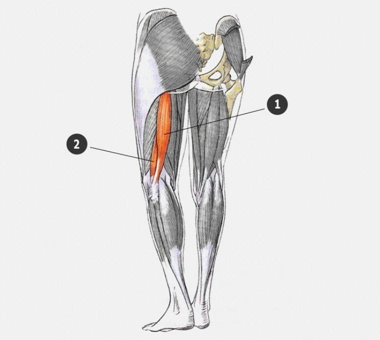 anatomy of biceps femoris